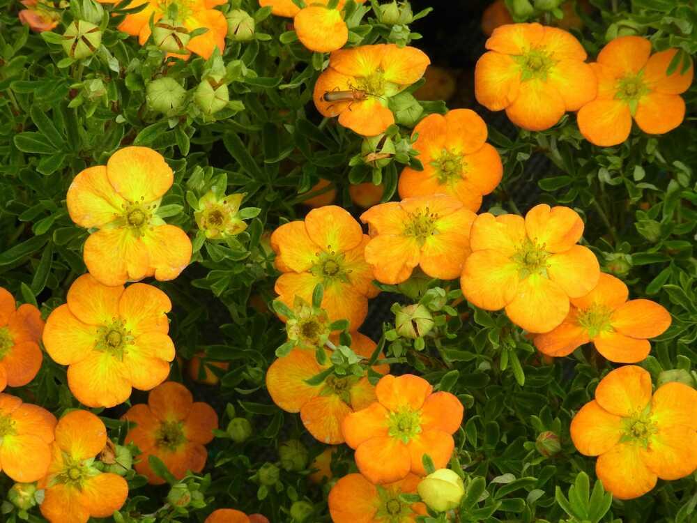 Van Vliet New Plants presents Potentilla Bella Series